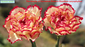 the beauty of carnation flowers dianthus caryophyllus youtube