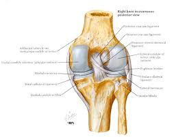 Right Knee Anatomy Http Upload Orthobullets Com Topic 3009 Images Pcl Anatomy Jpg