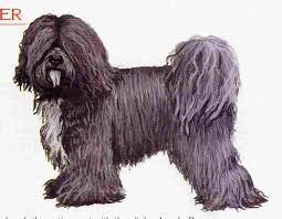 hair cuts for the tebelan terrier groomers bbs tibetan terrier help please