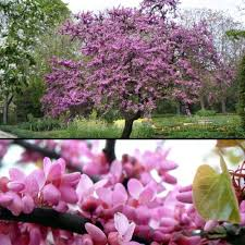 order you cercis siliquastrum judas tree today pink flowers