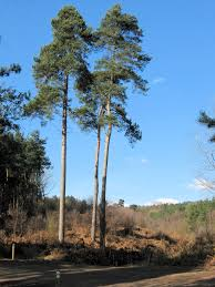 file a trio of scots pine geograph org uk 1750728 jpg