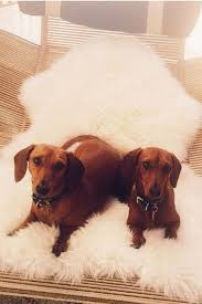 1294 best dachshund images on pinterest weenie dogs doggies and