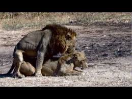 Lion Sex Meme - lions mating possibly the best video record on youtube of mating