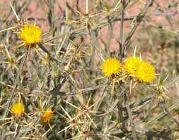 native plants of arizona course noxious weed identification for southeastern arizona and