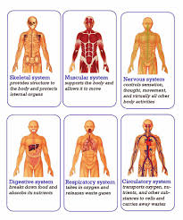 Picture Diagram Of The Human Body Diagram Of The Body Systems Diagram Showing Human Body Systems