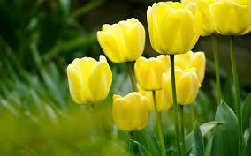 wallpaper bunga tulip bunga tulip kuning forgsm