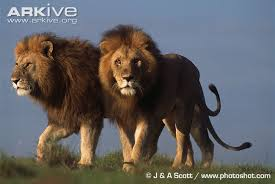 photos and facts panthera leo arkive
