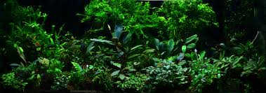 Aquascape Environmental Bucephalandra All In One Aquascaping World Forum