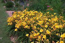 Stella Daylily Daylily Flowers Trees U0026 Plants Ebay