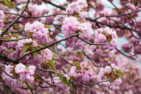 pink flowers of cherry blossom tree up view of stock
