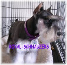 mini schnauzer haircut styles schnauzer puppy colors royal schnauzers utah