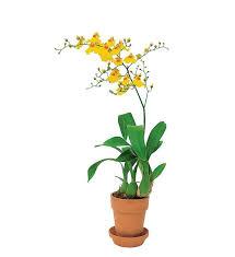 oncidium orchid yellow oncidium orchid tf140 2 71 06