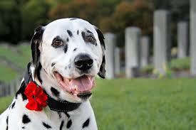 dog ribbon dalmatian diy diy dog collar gathered ribbon poppy