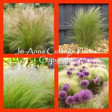 stipa sun plant ornamental grasses ebay