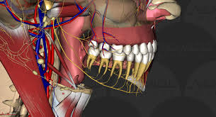 Interactive 3d Anatomy 3d Dental Anatomy Anomalous Medical
