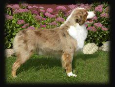 australian shepherd kc mercyme aussies puppy litter lil ruby u0026 kc 07 14 14 mercyme