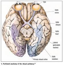 Vascular Anatomy Of The Brain Lesson Understanding Cerebral Vision Loss