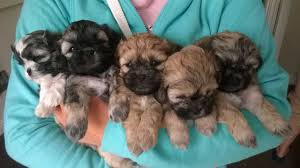 cute teddy bear puppies pictures