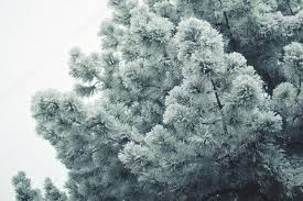 frosted pine tree stock photo oriontrail 68253841