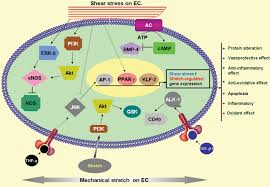 cellular and molecular effects of mechanical stretch on vascular download figure
