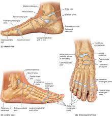 Calcaneus Anatomy Chapter 5 Lower Limb U2013 Part 2 Essay Medicine And Health