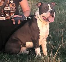american pitbull terrier qualities american staffordshire terrier