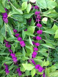 native plants of alabama american beautyberry says color me purple harvey cotten al com