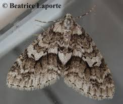 mottled gray carpet cladara limitaria walker 1860 butterflies