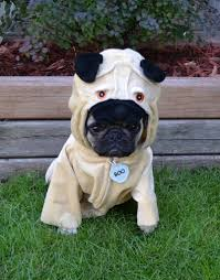 pug in a pug costume boo the pug dapuglet flickr