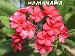 plumeria flower 15 plumeria frangipani hawaiian flower seeds home