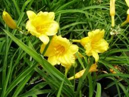 stella d oro daylily parks brothers farm wholesale plants stella d oro daylily