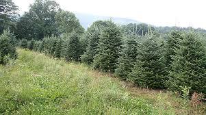 high country trees wholesale frasier fir tree farm