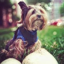 yorkie hairstyles photo gallery the 25 best yorkie hairstyles ideas on pinterest yorkie cuts