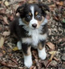 australian shepherd kid friendly 5 tips for finding the perfect australian shepherd puppy