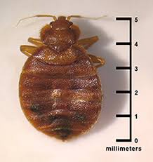 Bed Bug Com Ehs Bed Bugs Topic Cdc