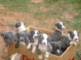 american pitbull terrier puppies louisiana american pit bull terrier puppies for sale