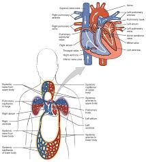 circulation of blood fetus heart articles physiological reviews