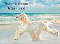 afghan hound trainability afghan hound dog breed information dogspot in