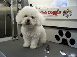 labradoodle hairstyles club doggie mobile grooming salon before and after photo gallery