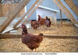 Chicken In Backyard Chicken Coop Stock Images Royalty Free Images U0026 Vectors