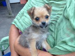 short haired chorkie chorkie puppy images jpg 640 480 this chihuahua yorkie chorkie