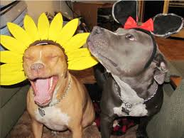 best 25 pitbull halloween costumes ideas on pinterest pitbull