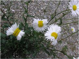 are u0027mutated u0027 daisies really caused by fukushima radiation