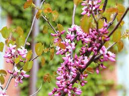 native utah plants native plant spotlight cercis occidentalis western redbud tree