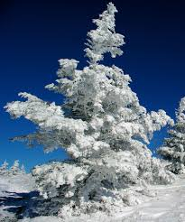 winter wonderland with a snow covered christmas tree in the north