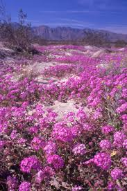 anza borrego desert image detail for anza borrego wildflower sunset 1 anza borrego
