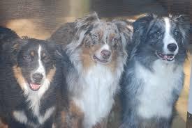 australian shepherd owners meet our previous puppies dobson dogs u2013 australian shepherd dog