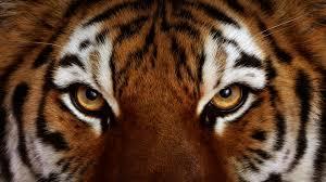 tiger face drawing wallpaper
