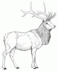 rocky mountain elk coloring page coloring home