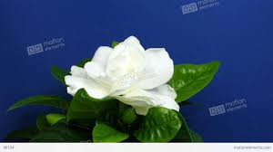 time lapse of gardenia flower opening 1 stock video footage 96104